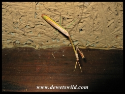 Praying mantis waiting for us to return to Wielewaal cottage