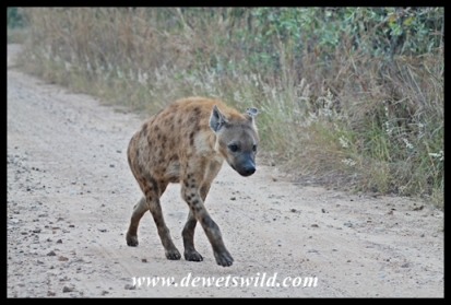 a very determined hyena came rushing past