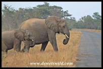 Elephants crossing the road near Afsaal