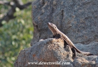 Giant Plated Lizard baking on a rock