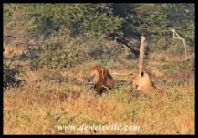 Lions between Orpen and Satara