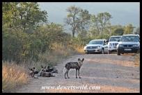 Wild dogs on the Matjulu Loop