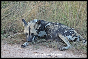 Wild dogs on the Matjulu Loop