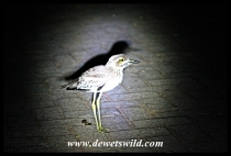 Thick-knee (Dikkop) in camp