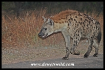Spotted hyena on the way to Malelane Gate