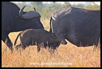 Buffalo near Satara