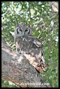 Giant Eagle Owl near Satara