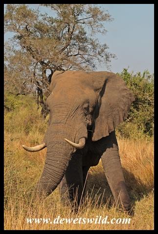 Elephant near Tshokwane