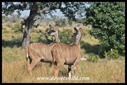 Kudu near Tshokwane