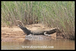 Crocodiles at the Sabie River