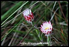 Dainty mountain flowers