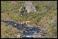 Eland crossing the Bushmans River