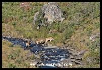 Eland crossing the Bushmans River