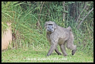 Baboons are a common sight at Giant's Castle
