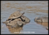 Terrapins in the Olifants River