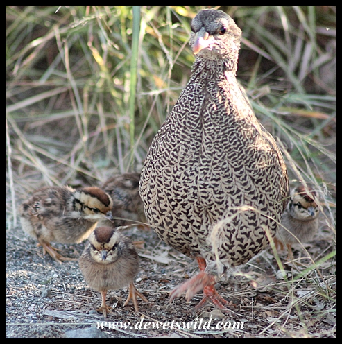 Natal spurfowl and chicks