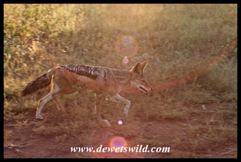 Black-backed jackal are quite common near Orpen