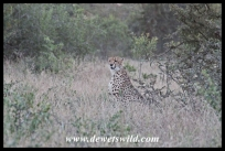 Orpen cheetah sighting