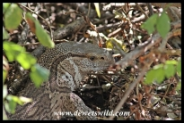 Rock monitor in camp