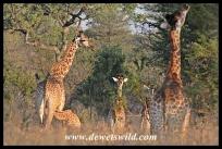 Giraffes aplenty