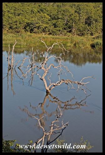 Reflections in Pioneer Dam, at Mopani