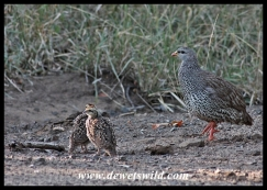 Natal spurfowl with her chicks