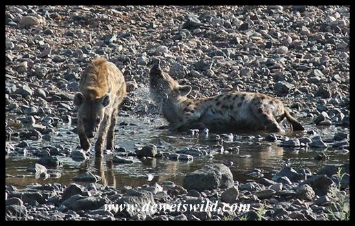Hyena's early morning bath