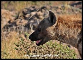 Hyena profile