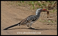 Red-billed hornbill with a snack