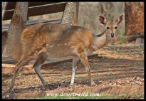 Bushbuck ewe in Crocodile Bridge
