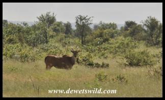Eland cow