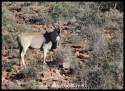 Karoo NP December 2017 Eland (101)