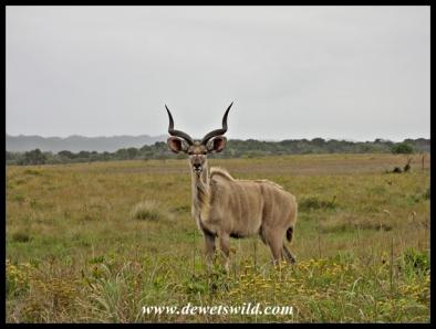 Subadult kudu bull