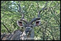 Kudu bull