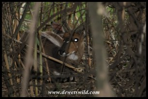Bushbuck hiding in a thick reedbed, Moreletakloof
