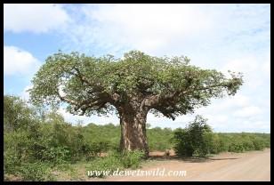 von Wielligh's Baobab