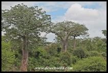Baobab, Kruger (10)