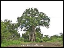 Baobab, Kruger (11)