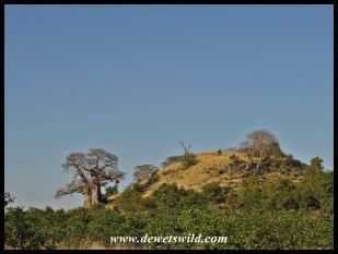 Baobab landmark near Mopani, Kruger Park
