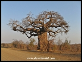 Von Wielligh's baobab, between Olifants and Letaba in the Kruger Park, in the dry season