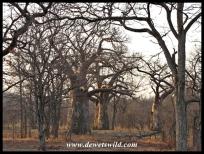 Baobab, Kruger (3)