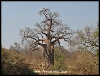 Baobab, Kruger (4)