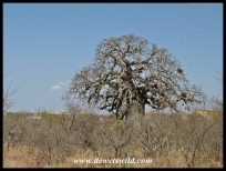 The baobab in Mopani Rest Camp, Kruger National Park