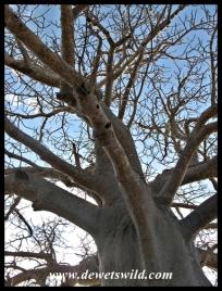 Baobab, Kruger (6)