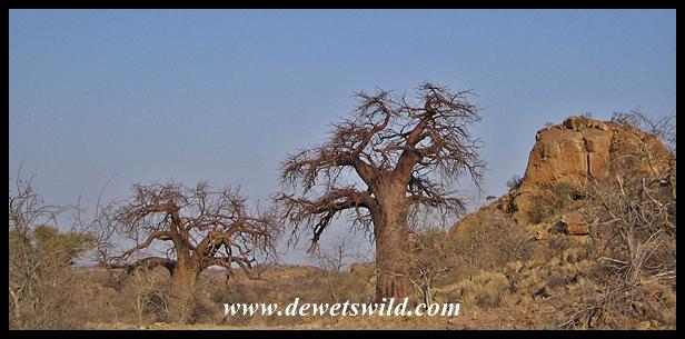 Baobab, Mapungubwe (1)