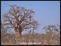 Baobab, Mapungubwe (2)