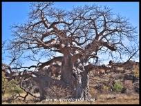 Baobab, Mapungubwe (4)
