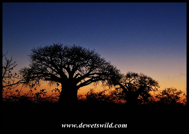 Baobab, Mapungubwe (6)