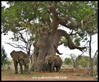 Baobab and elephants