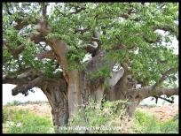 Baobab, Mapungubwe (8)